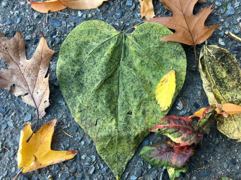 Heart-shaped green Catalpa leaf with other leaves