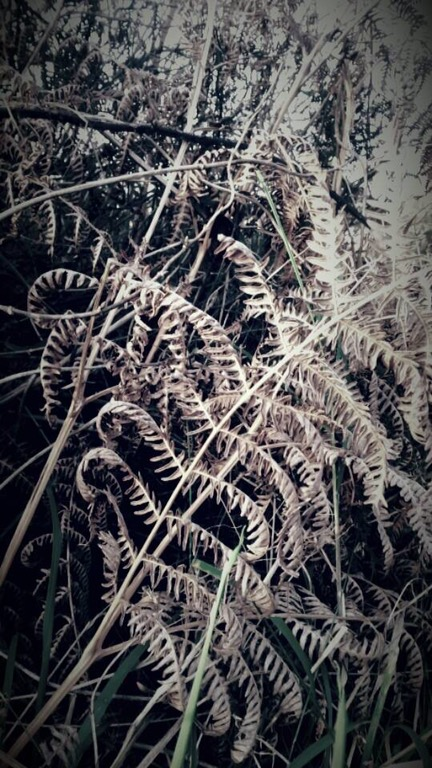 Bracken in winter