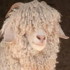 angora-goat
